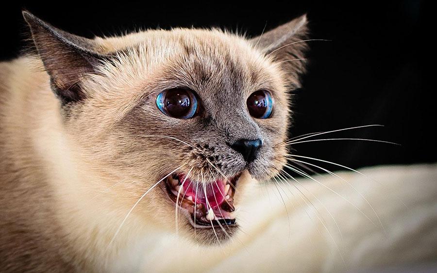 นิสัยแมวก้าวร้าวที่ชอบฉี่ไม่เป็นที่
