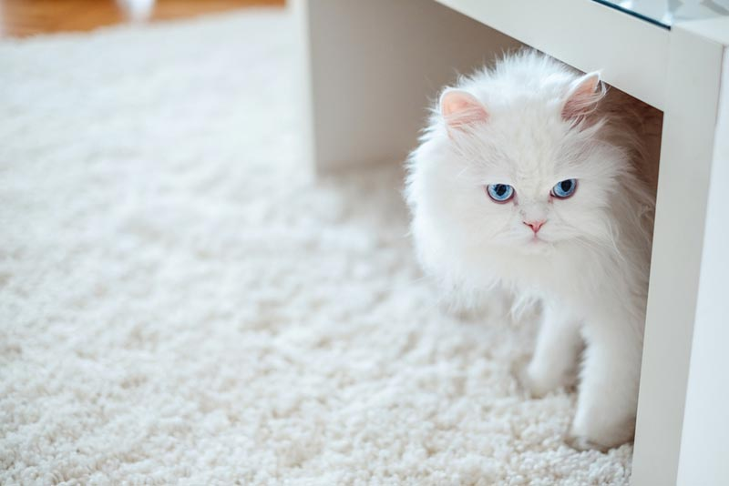 พันธุ์เปอร์เซีย แมวขนสวยที่เป็นที่นิยมในหมู่ผู้เลี้ยงแมว