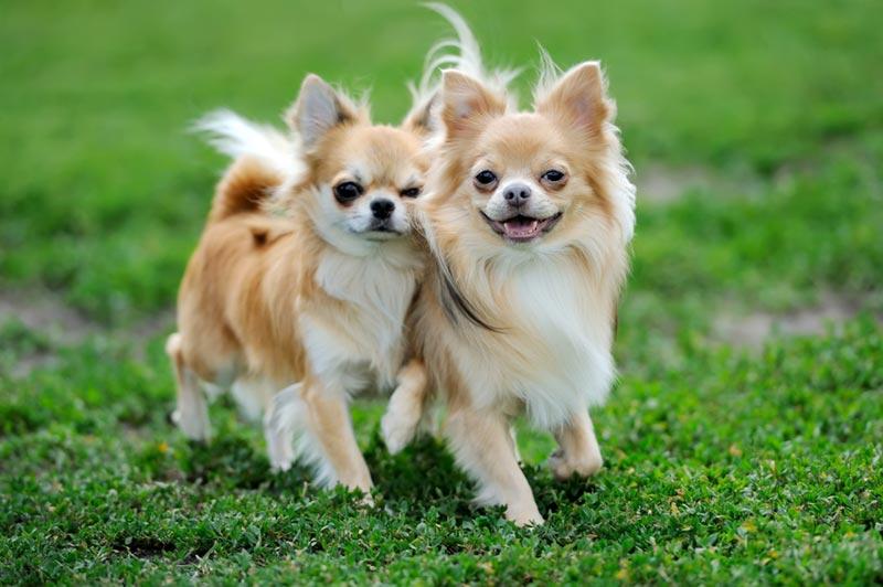 แนะนำสุนัข แมว ยอดนิยมของคนไทยอย่างละ 3 สายพันธุ์